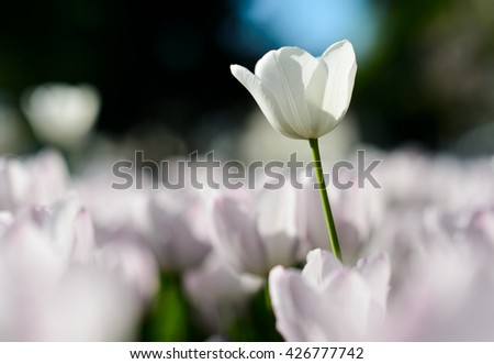 Beautiful landscape of white tulip at middle of spring.  Sunny garden scenery background