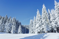 Beautiful landscape on the cold winter morning. High mountain. Pine trees in the snowdrifts. Lawn and forests. Snowy background. Nature scenery. Location place the Carpathian, Ukraine, Europe.