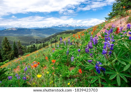 Beautiful landscape panorama full of wildflowers grass evergreen trees bright blue sky. Purple blue orange red yellow colors bluebonnets paintbrushes in Colorado rocky mountains during summer vacation Foto d'archivio ©
