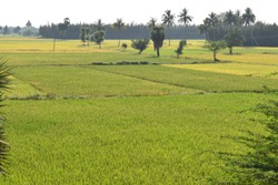 BEAUTIFUL LANDSCAPE VIEW OF AGRICULTURAL LAND FIELD CROP WITH BLUE SKY GREEN TREES BACKGROUND IN SOUTH INDIA