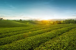 Beautiful landscape view of choui fong tea plantation in the evening with sunset at Mae jan , tourist attraction at Chiang rai province in thailand