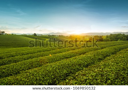Beautiful landscape view of choui fong tea plantation in the evening with sunset at Mae jan , tourist attraction at Chiang rai province in thailand #1069850132