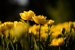 Beautiful landscape view of yellow tulips at middle of the day of the spring or summer. Amazing scenery of blooming tulips under sunlight in the garden.
