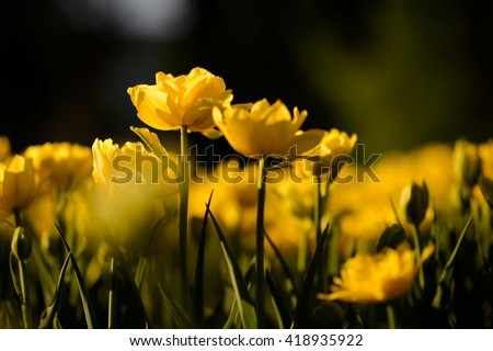 Beautiful landscape view of yellow tulips at middle of the day of the spring or summer. Amazing scenery of blooming tulips under sunlight in the garden.  #418935922