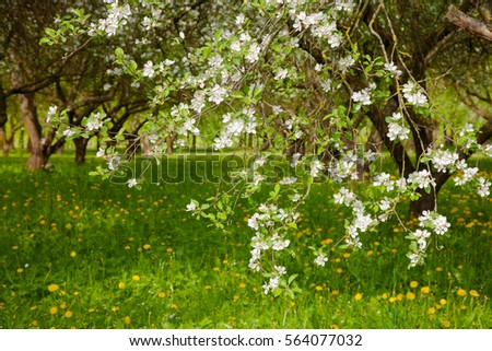 Beautiful Landscape with Blossoming Apple Garden in Spring. Springtime. Horizontal Wallpaper With Copy Space