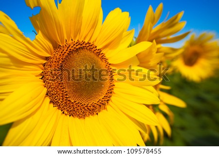 Beautiful landscape with sunflower field over blue sky and bright sun lights