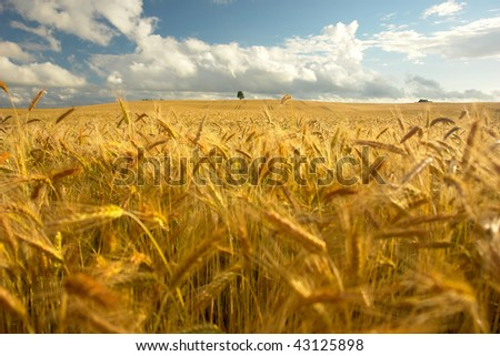 Beautiful landscape with wheat field and alone tree