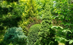 Beautiful landscaped garden with evergreens. Yellow needles of western thuja, blue juniper Juniperus squamata, green boxwood Buxus sempervirens and Picea glauca Conica. Selective focus.