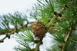 Beautiful Larch cones and branch with green background.  Perfect image for: Closeup of opening bud of European Larch, (Larix Decidua), female cone, european larch cones, forming larch cone, etc.