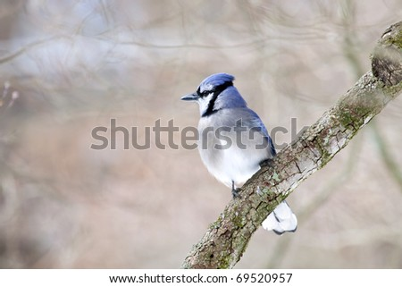 Beautiful large Bluejay bird on limb with natural background