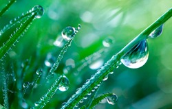Beautiful Large drops of fresh clear transparent  water on leaves of the grass in the morning, macro. Grass in  morning dew in spring summer on a green background in nature