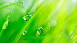 Beautiful large drops of fresh morning dew macro in nature. Drops transparent water  on grass. Spring background with copy space