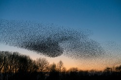 Beautiful large flock of starlings. A flock of starlings birds fly in the Netherlands. During January and February, hundreds of thousands of starlings gathered in huge clouds.