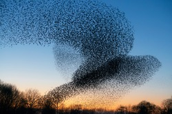 Beautiful large flock of starlings. During January and February, hundreds of thousands of starlings gathered in huge clouds. Hunting the starlings.