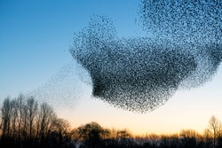 Beautiful large flock of starlings (Sturnus vulgaris), Geldermalsen in the Netherlands. During January and February, hundreds of thousands of starlings gathered in huge clouds.  Silhouettes of birds.