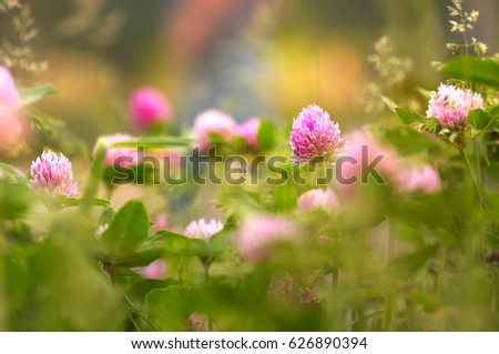 Beautiful large flowers of wild meadow clover in nature on a blurred background in spring in summer  macro with soft focus. Bright colorful artistic image.