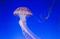Beautiful large jellyfish
