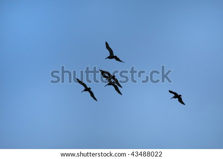 Beautiful large Pelicans against blue sky