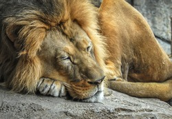 Beautiful large sleeping male lion