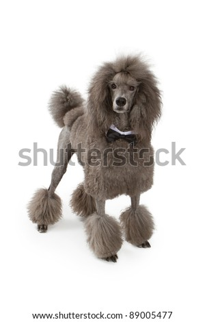 Beautiful large standard Poodle dog wearing a black bow tie standing on a white background