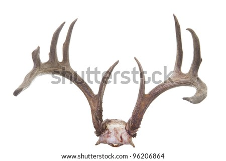 Beautiful large whitetail antlers on skull isolated on white background