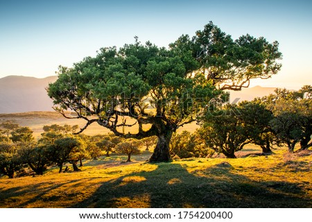 Beautiful laurel trees in the afternoon sunset in the Fanal Forest, Madeira, Portugal. These very old, in common cases hundreds of years old trees look like pieces of art.