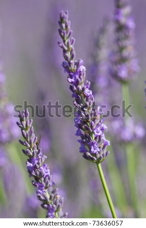 beautiful lavender - background
