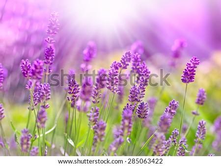 Beautiful lavender bathed in sunlight - sun rays