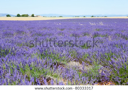 Beautiful lavender field near Valensole, France - stock photo
