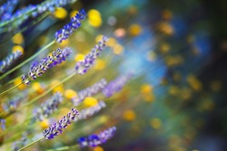 Beautiful lavender field, soft focus photo of a gentle yellow and purple wild flowers, beauty of a spring nature