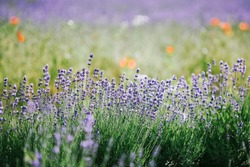 Beautiful Lavender Field Summer  Landscape