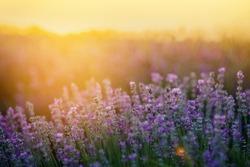 Beautiful lavender fields at sunset.