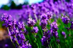 Beautiful lavender fields. Furano, Hokkaido, Japan