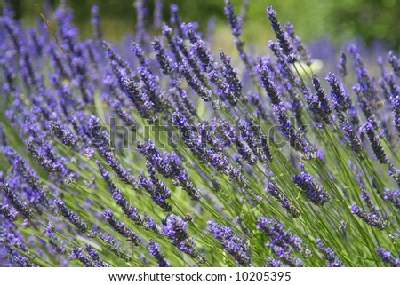 Beautiful lavender fields, product of the Provence in the south of France.