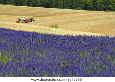Beautiful lavender fields, product of the Provence in the south of France