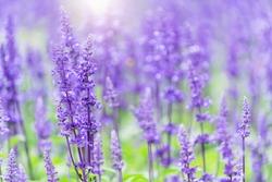 beautiful Lavender flower in the Dalat Flower Park, Selective focus