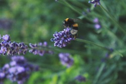beautiful lavender flowers and bumblebee walking around them