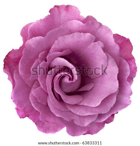 Beautiful lavender-hued rose, isolated on white.