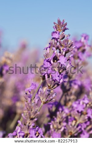 Beautiful lavender in detail in the summer