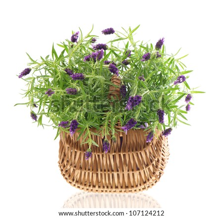 beautiful lavender plant in basket on white background. studio shot