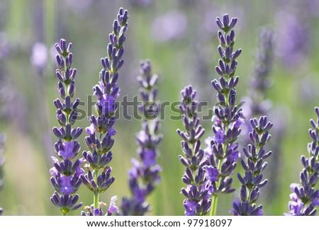 beautiful lavenders flowers in a field
