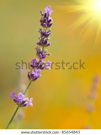 beautiful lavenders in a field