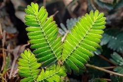 Beautiful leaf of Mimosa Pudica (Thottavadi).
