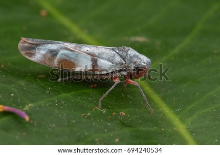 beautiful leafhopper on green leaf