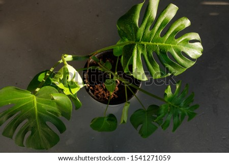 Beautiful leaves of Monstera in the sun. Monstera in a modern interior. Flowers in the interior. The concept of minimalism. Background for the site