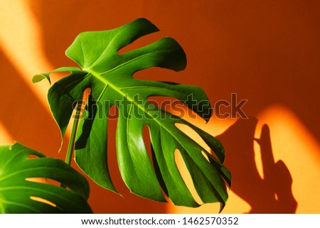 Beautiful leaves of Monstera on an orange background. Monstera in a modern interior. Minimalism concept. Background for the site, wallpaper for smartphone