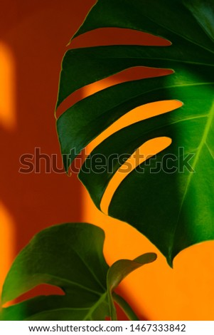 Beautiful leaves of Monstera on orange the background. Monstera in a modern interior. Minimalism concept. Background for the site