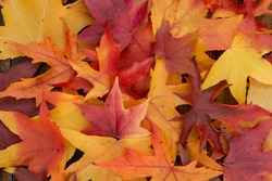 Beautiful leaves with many colors from the autumn