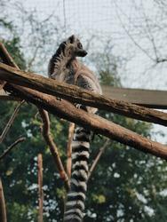 Beautiful lemur posing at the London zoo. Close up image taken in London England last March. Long beautiful tail.
