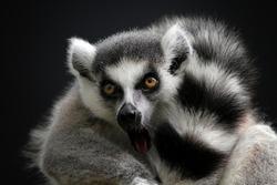 Beautiful lemur ring tailed closeup face, animal closeup